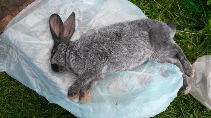 гемморагическая болезнь кролика