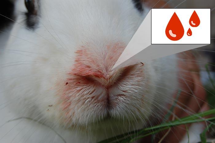 кровь из носа у кролика
