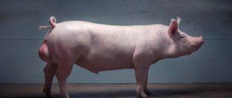 самец свиньи