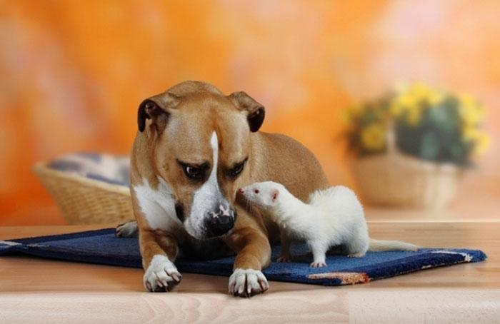 хорь и собака