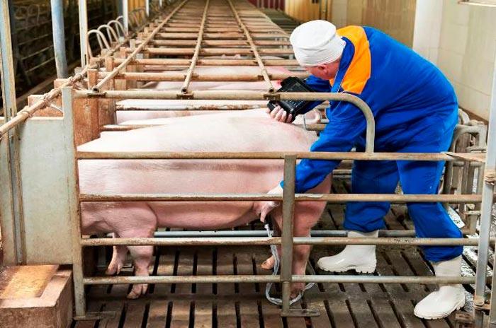 искусственное осеменение свиньи