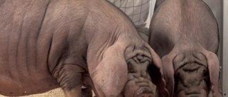 свиньи из Китая
