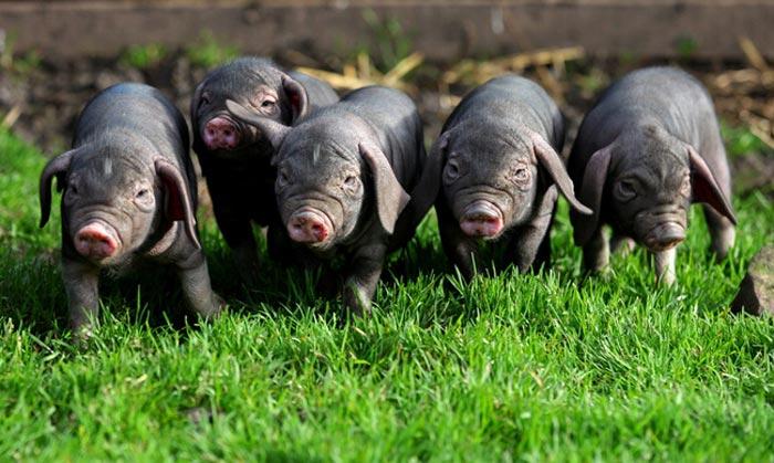 свиньи мейшан