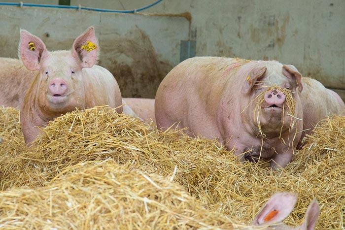 свиньи и сено