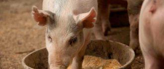 свинья ест корм
