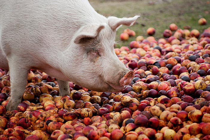 свинья и яблоки