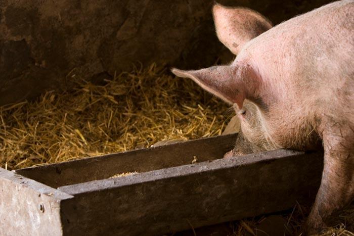 кормление свиноматки