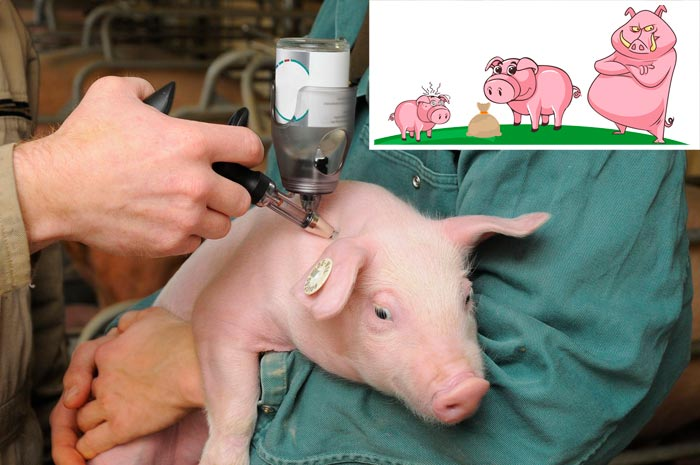 стимуляция роста свиньи