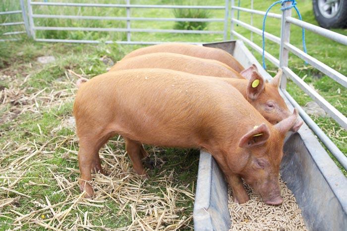 свиньи едят из кормушек