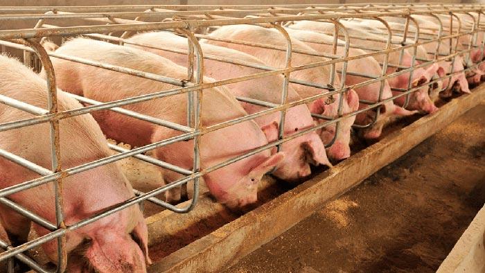 кормление свиней на ферме