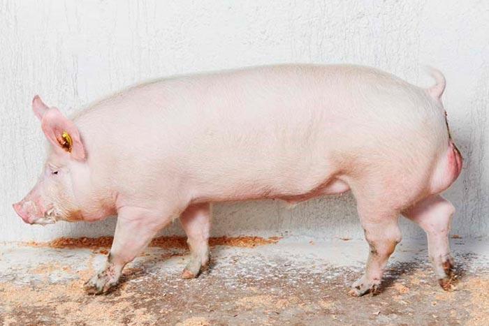 свинья белой породы