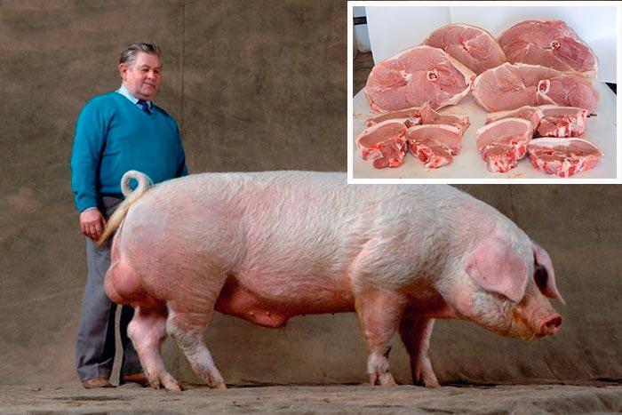 мясо свиньи
