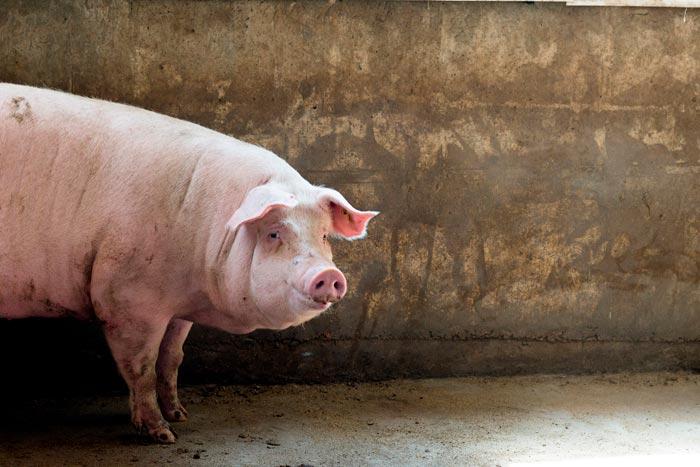свинья мясной породы