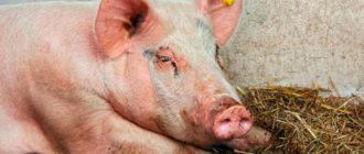 свинья не встает на ноги