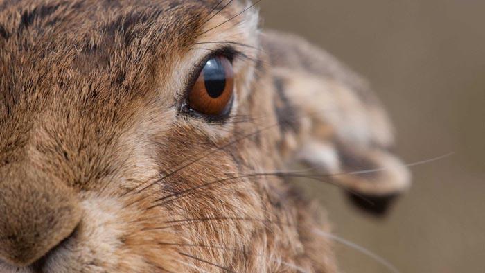 глаз кролика