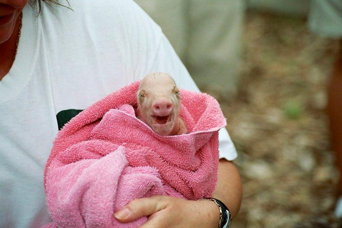 новорожденный поросенок