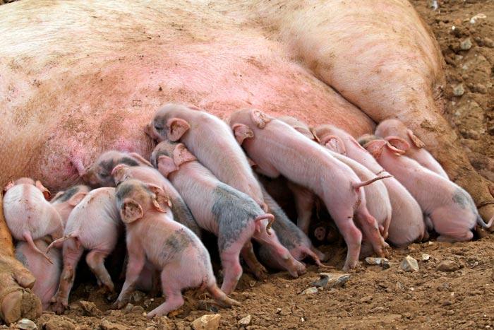 поросята у свиньи