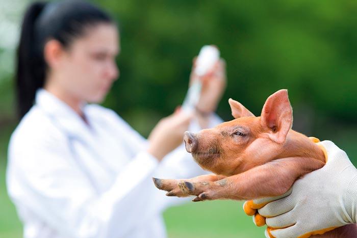 ветеринар осматривает поросенка
