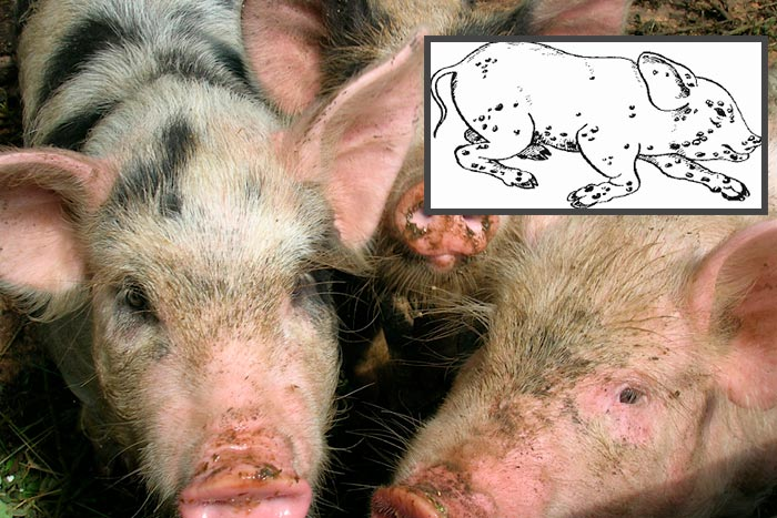 оспа у свиней