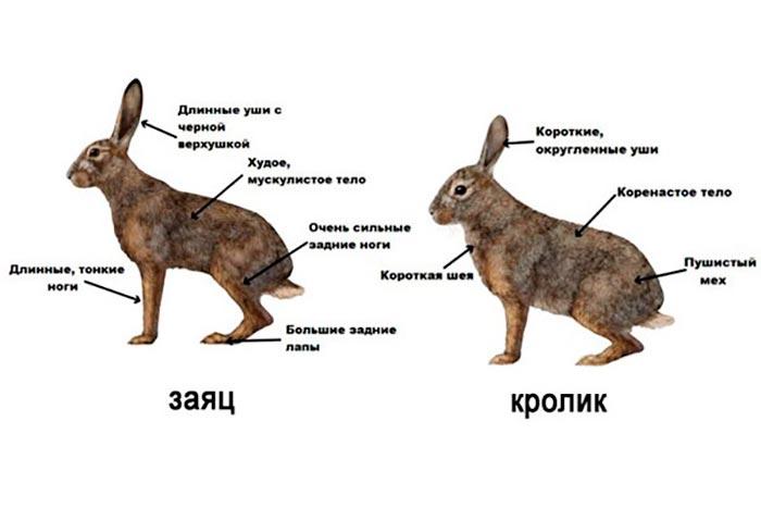 отличия между зайцем и кроликом