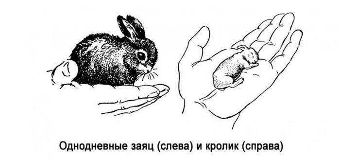новорожденный кролик и заяц