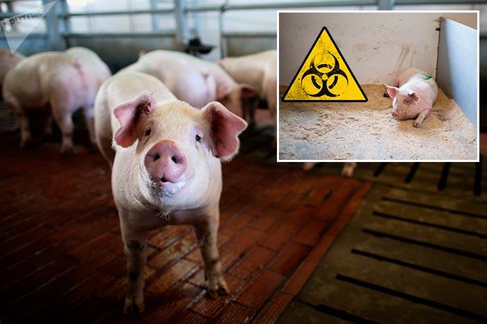 свинья в карантине