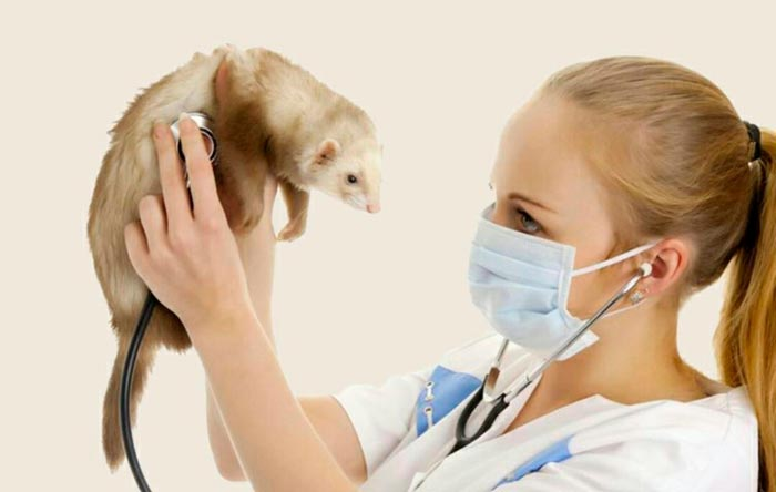 хорек у ветеринара