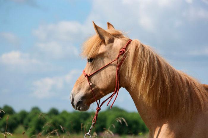 саврасая лошадь