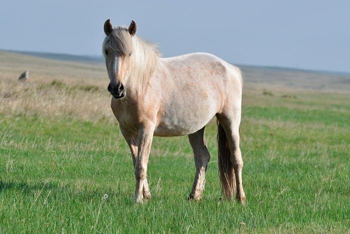 светлая сивая лошадь