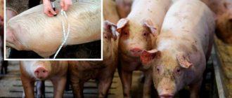 измерение свиньи