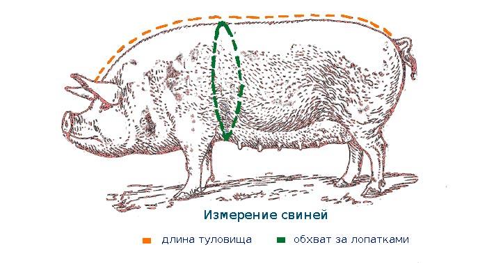 схема замера свиньи