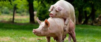 спаривание свиней