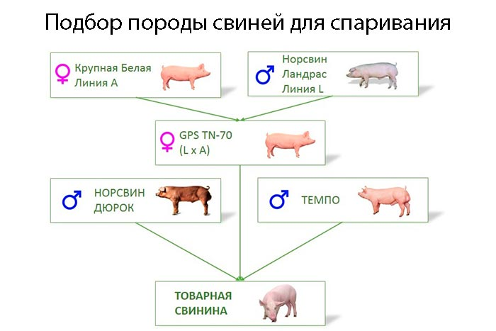 подбор породы свиней