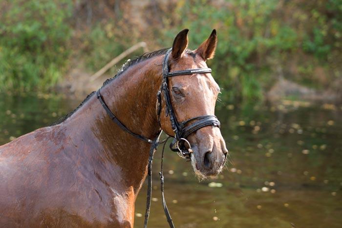 лошадь тракен