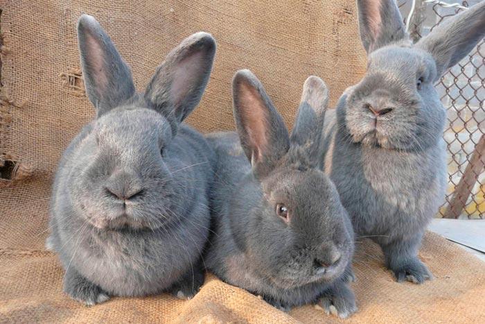 голубые кролики