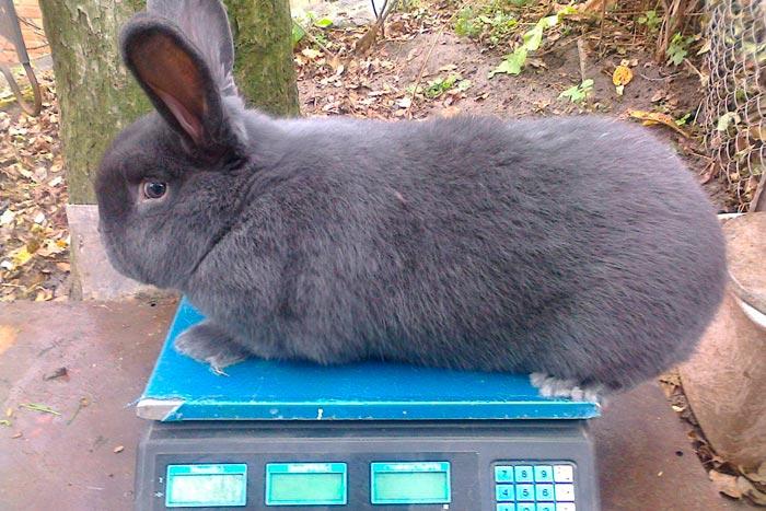 кролик на весах