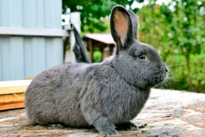 венский кролик