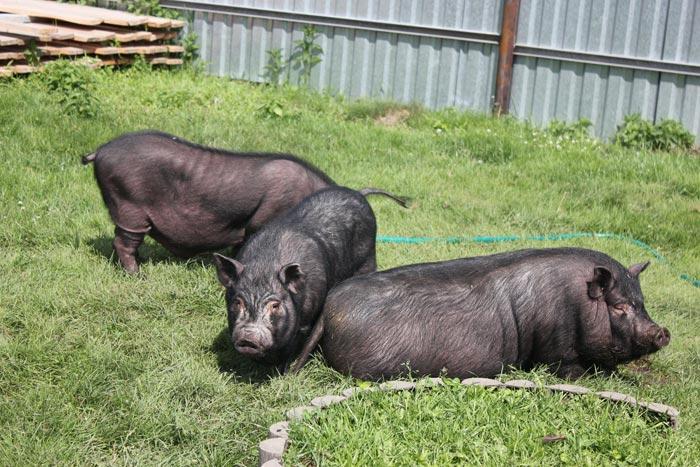 вислобрюхие свиньи во дворе
