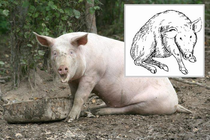 сидячая поза у свиньи