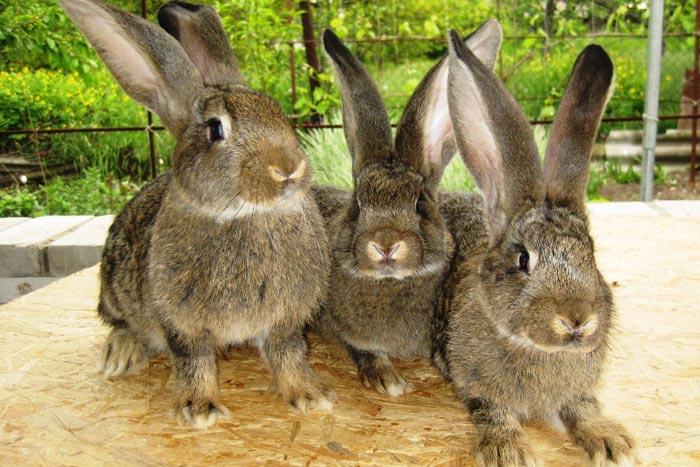 бельгийские кролики