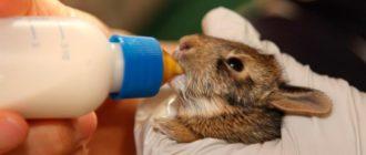 кормление крольчонка