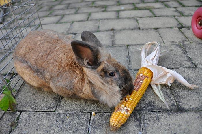 Как кормить кроликов кукурузой