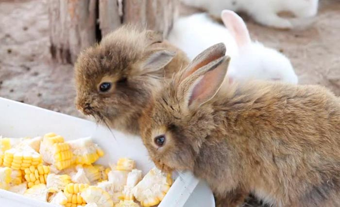 кролики едят початки кукурузы