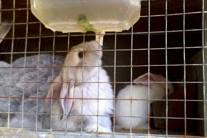 кролик пьет воду