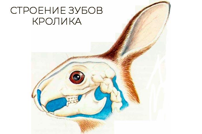 строение зубов кролика