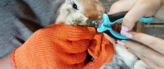 стрижка ногтей кролика