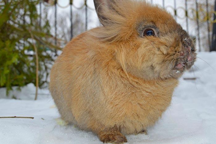 Мокрец у кроликов чем лечить народные средства