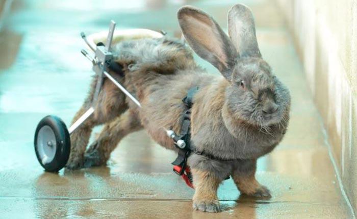 отказали задние лапы у кролика
