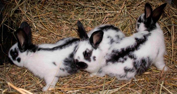 крольчата породы строкач