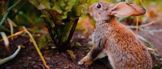 кролик ест свеклу